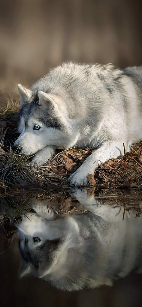 amazing-wolfdog-photography-wallpaper-1080x2340
