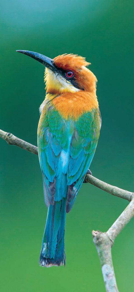 beautiful-bird-bee-eater-wallpaper-1080x2340