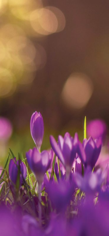 beautiful-crocus-hq-wallpaper-1080x2340