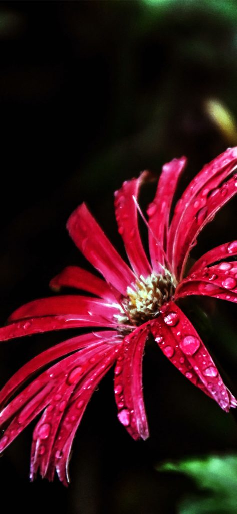 Beautiful Red Bloom [1080×2340]