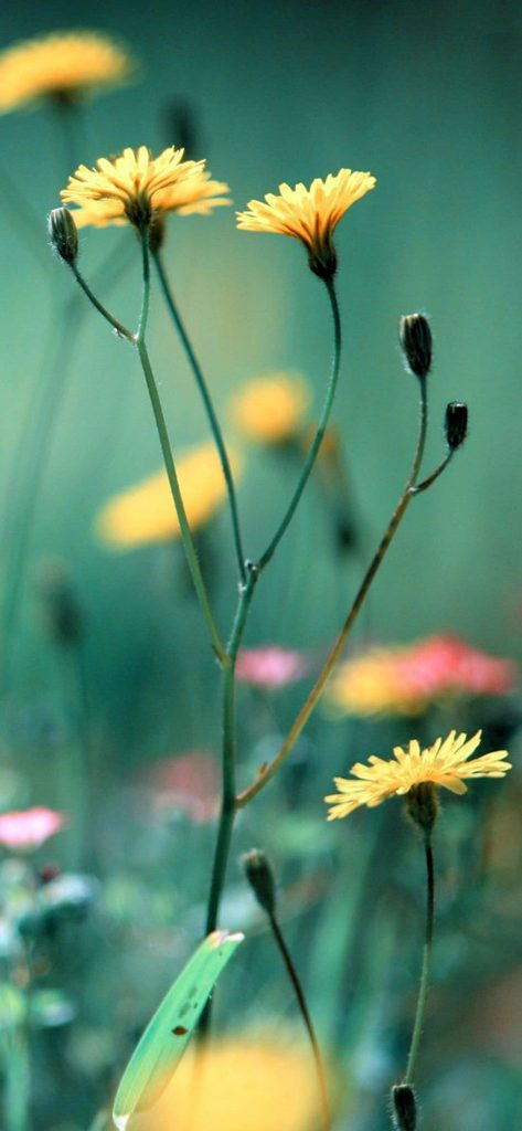 Blur Sun Flower Photography [1080×2340]