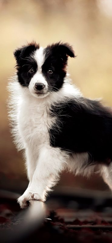 border-collie-dog-wallpaper-1080x2340
