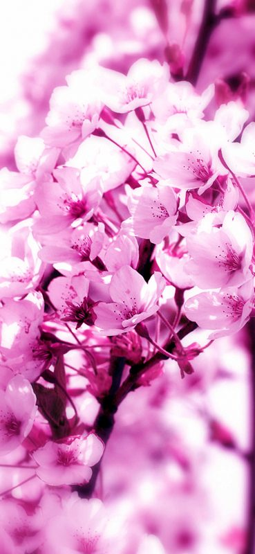 1080×2340-Pink-Flower-Close-up-Photography