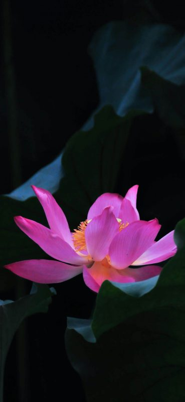 pink-flower-hd-photography-wallpaper-1080x2340
