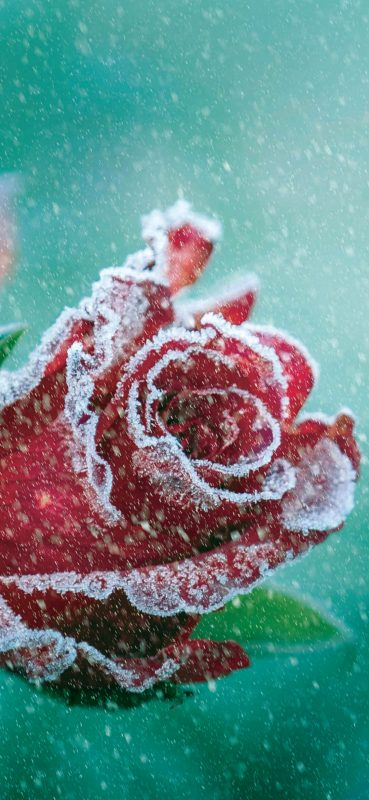 snow-on-red-rose-1080x2340-wallpaper