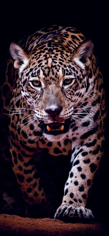 stunning-jaguar-hd-wallpaper-1080x2340