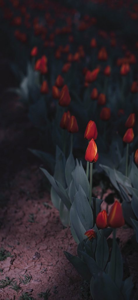 Gorgeous-Tulip-Spotlight-1080×2340