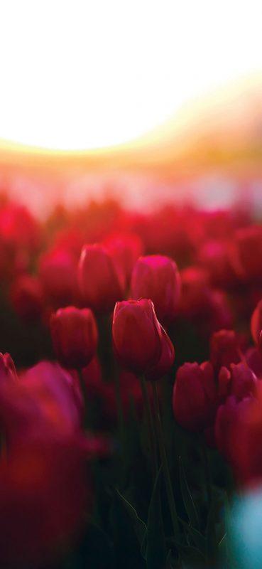 Blur-Tulips-Garden-1080×2340