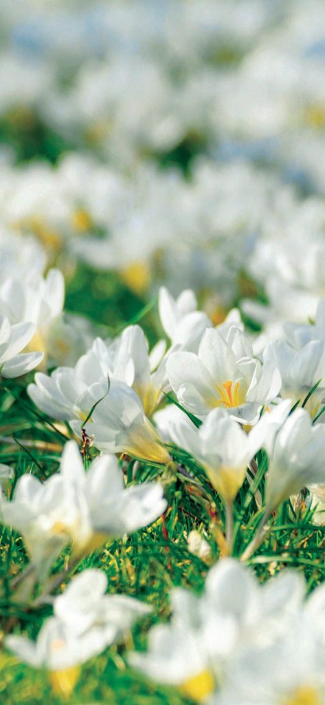 white-crocus-flower-wallpaper-1080x2340