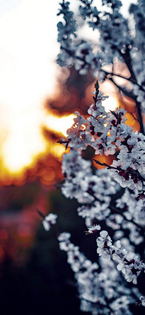 White-Sakura-Blossom-1080×2340