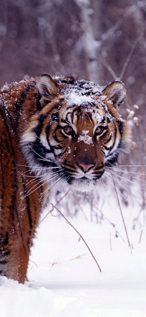 Wild-Tiger-in-Winter-Session-1080×2340