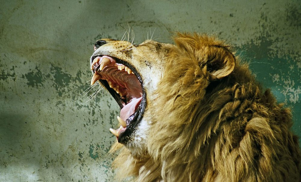Roaring Lion wallpapers 005 1920x1162 380x280