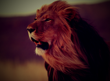 Roaring Lion wallpapers 017 2880x1800 380x280