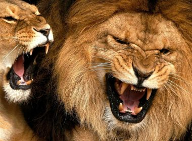 Roaring Lion wallpapers 023 1366x768 380x280