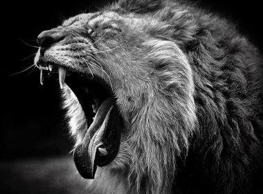 Roaring Lion wallpapers 032 2560x2048 380x280