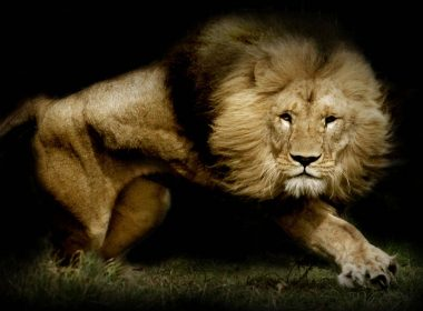 Roaring Lion wallpapers 042 1920x1200 380x280