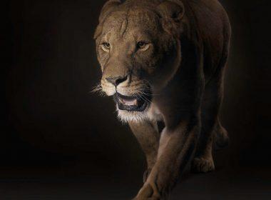 Walking Roaring Lion wallpapers-1280×1024