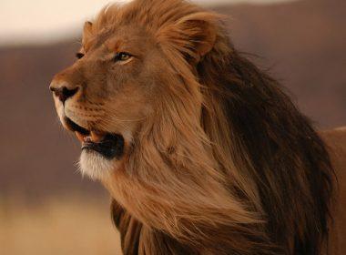 Amazing Roaring Lion HD-1280x1024
