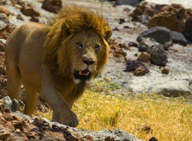 HD Roaring Lion-1680 × 1050