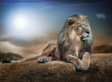 Lion sit wallpapers 058 1920x1200 380x280