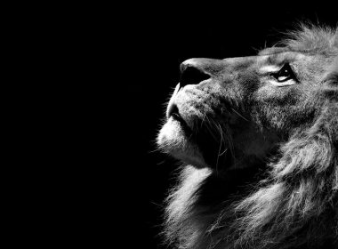 Roaring Lion wallpapers 059 1920x1080 380x280