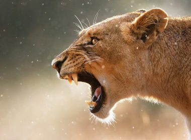 Roaring Lion wallpapers 061 1920x1200 380x280