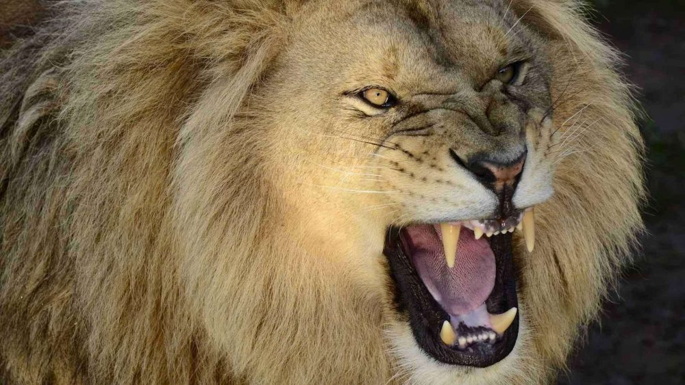 Roaring Lion wallpapers 065 1920x1080 380x280