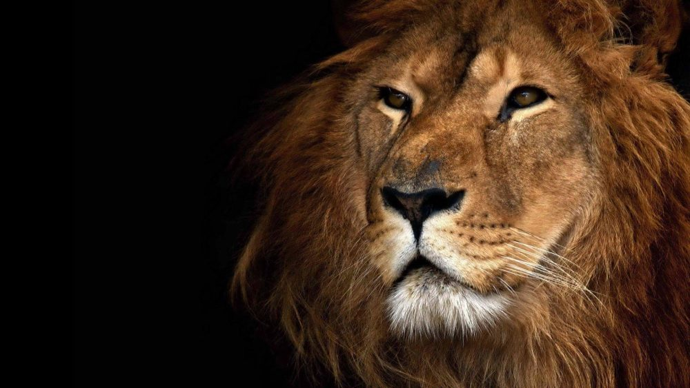 Roaring Lion wallpapers 066 1920x1080 380x280
