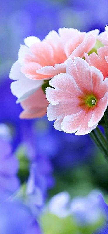 Pink Flower Photography HD Wallpaper-1080x2340