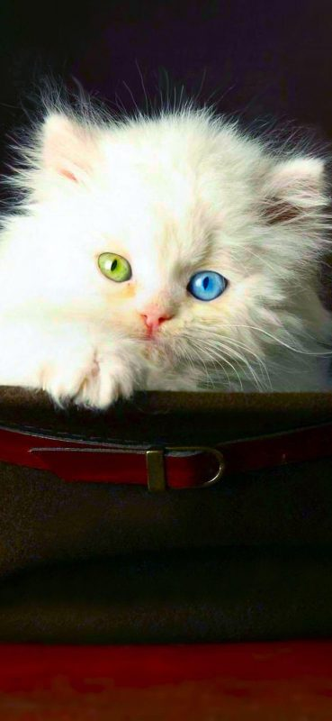 1080x2340-unique-white-cat-with-two-color-eyes