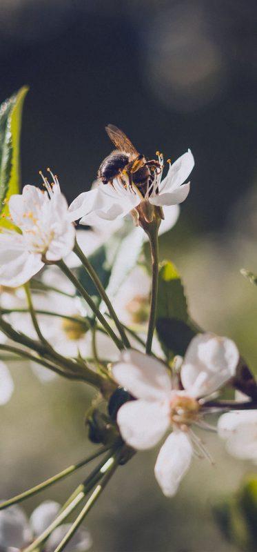 beautiful-bee-on-flowers-hd-wallpaper-1080x2316