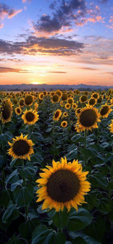 1080x2316-beautiful-sunflower-garden-wallpaper