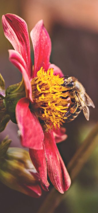 bee-on-red-on-macro-photography-1080x2340