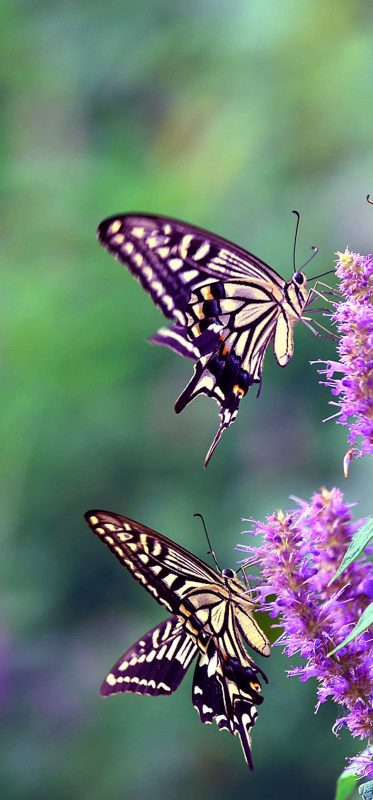 1080x2316-butterfly-on-flower-photography
