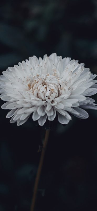 1080x2340-gorgeous-white-flower-hd-wallpaper