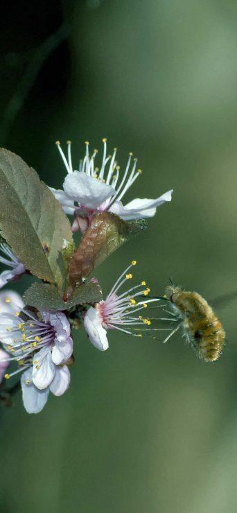 Honey Bee On Flower HD Wallpaper - [1080×2340]