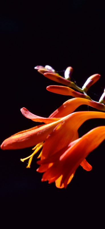 1080x2340-orange-plant-hd-wallpaper