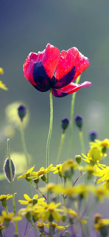 1080x2340-poppy-red-flower-hd-wallpaper