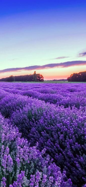 Purple Lavender Flower Wallpaper - [1080×2340]
