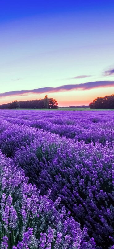 purple-lavender-flower-wallpaper-1080x2340