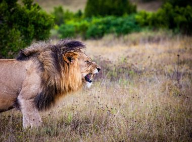 Roaring Lion Wallpapers