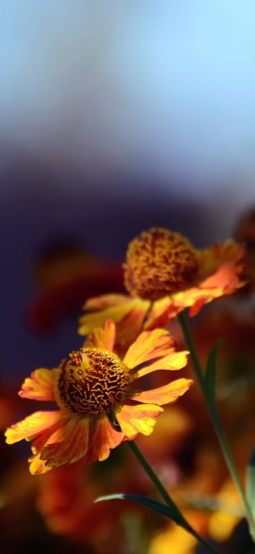 1080x2340-sun-flower-blur-photography-wallpaper