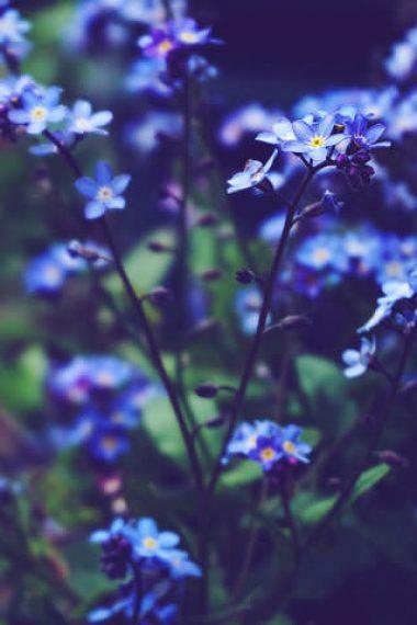 blue-flowers-depth-photography-wallpaper-320x480