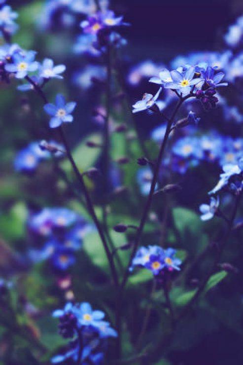 Blue Flowers Depth Photography Wallpaper - [320×480]