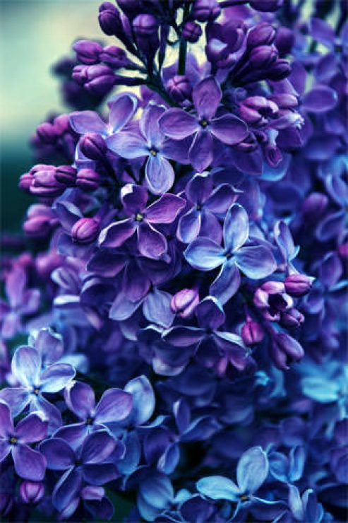 Eye-catching Lilac Flower Wallpapers - [320×480]