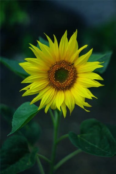 Yellow-Sunflower-Close-up-Photography-Wallpaper